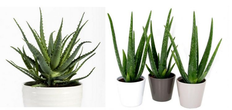 aloes