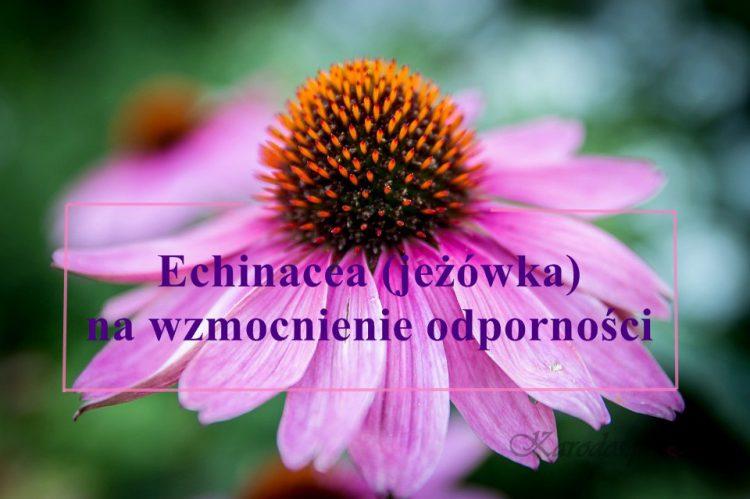 Echinacea (jeżówka) na wzmocnienie odporności