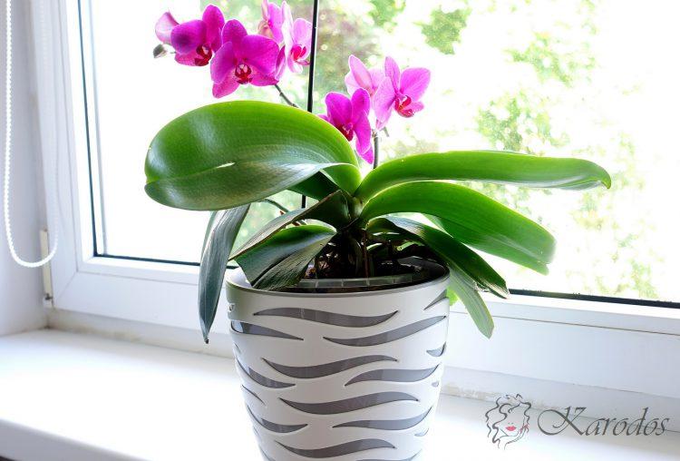 Jak dbać o storczyka - orchideę?