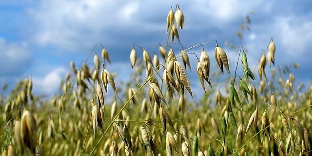 Nalewka z ziela owsa – remedium na bezsenność i stres