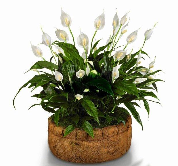 Prozdrowotne rośliny doniczkowe, które warto mieć w domu